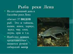Рыба реки Лена На сегодняшний день в бассейне реки Лена обитает 37 видов рыб.