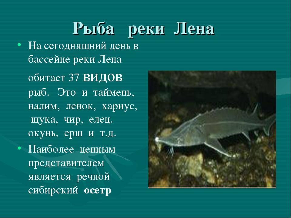 Рыба реки Лена На сегодняшний день в бассейне реки Лена обитает 37 видов рыб....