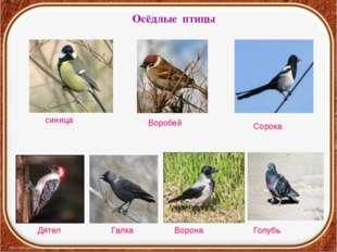 Осёдлые птицы синица Воробей Ворона Сорока Галка Дятел Голубь