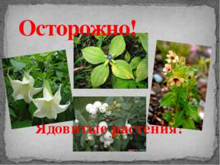Ядовитые растения! Осторожно!