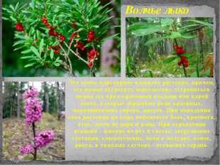 Это самое популярное ядовитое растение, причем, его можно встретить повсемест