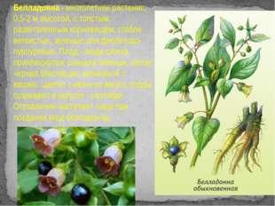 Белладонна - многолетнее растение, 0,5-2 м высотой, с толстым, разветвленным
