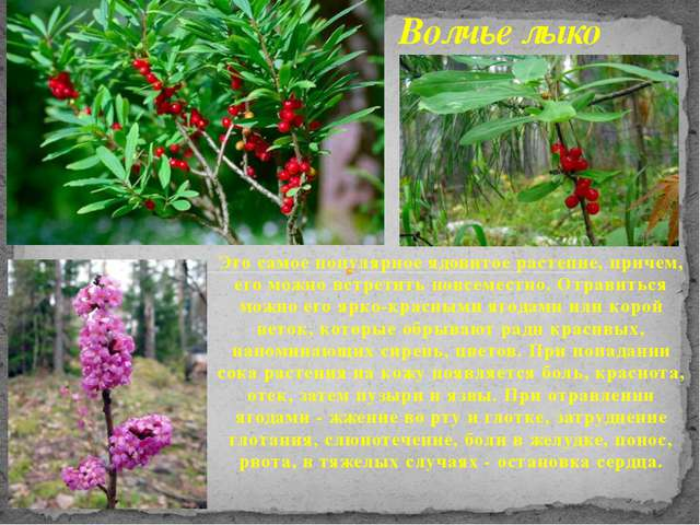 Это самое популярное ядовитое растение, причем, его можно встретить повсемест...