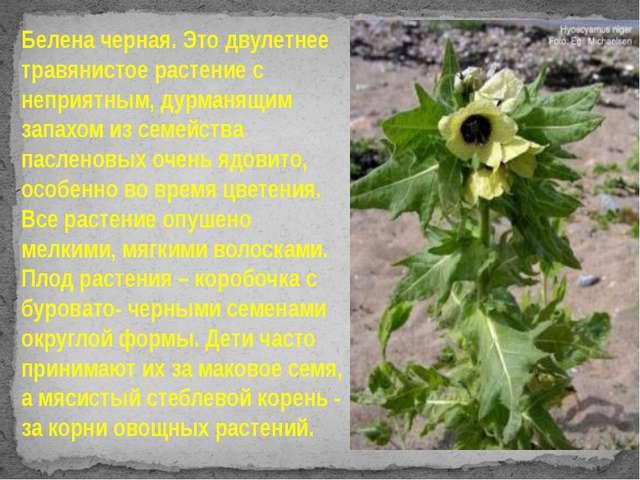 Белена черная. Это двулетнее травянистое растение с неприятным, дурманящим з...