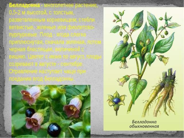 Белладонна - многолетнее растение, 0,5-2 м высотой, с толстым, разветвленным...
