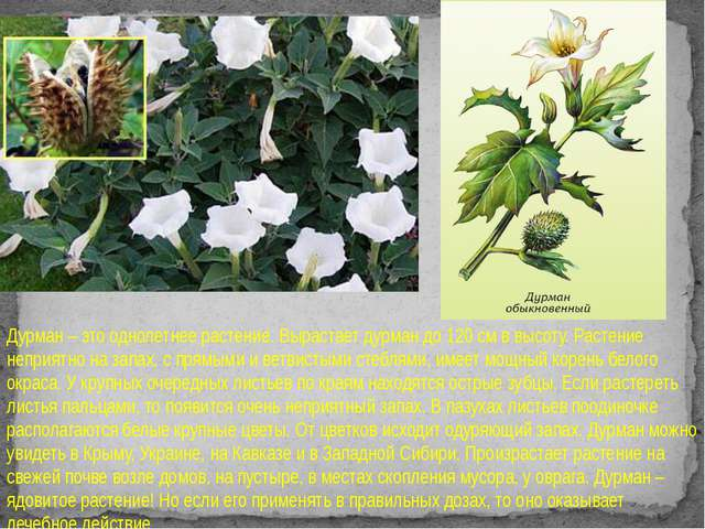 Дурман – это однолетнее растение. Вырастает дурман до 120 см в высоту. Расте...