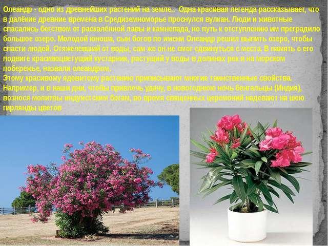 Олеандр - одно из древнейших растений на земле.. Одна красивая легенда расск...