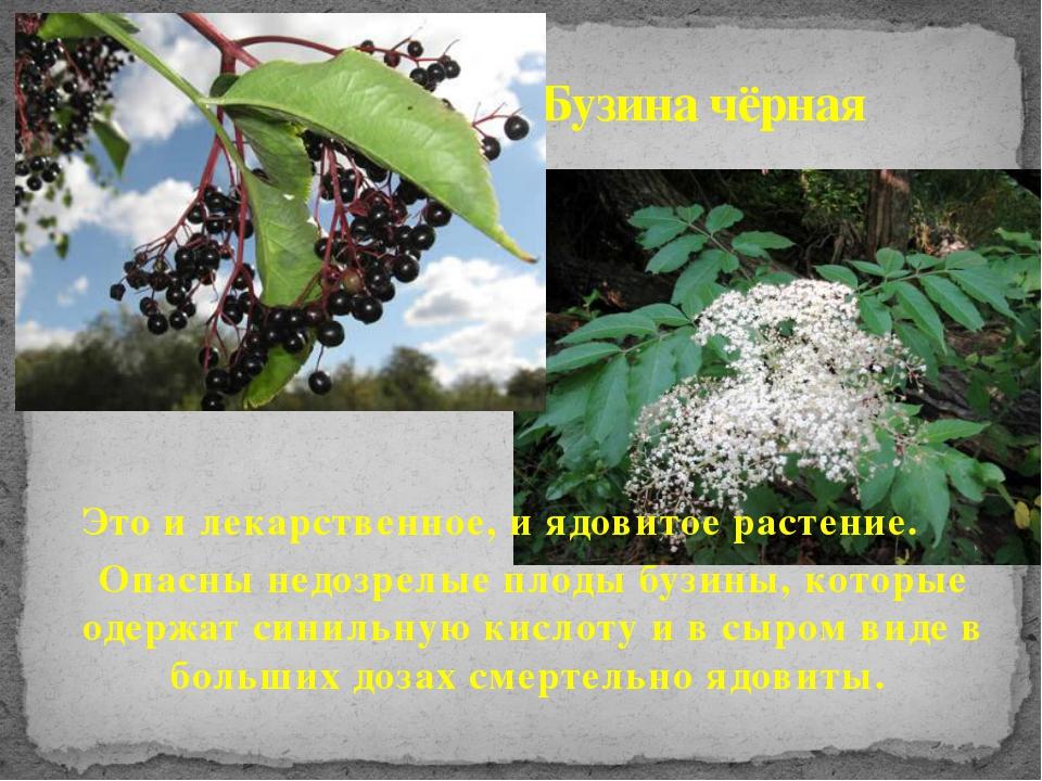 Это и лекарственное, и ядовитое растение. Опасны недозрелые плоды бузины, кот...