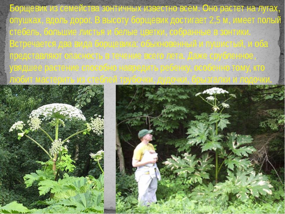 Борщевик из семейства зонтичных известно всем. Оно растет на лугах, опушках,...