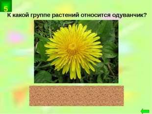 К какой группе растений относится одуванчик? цветковые 5
