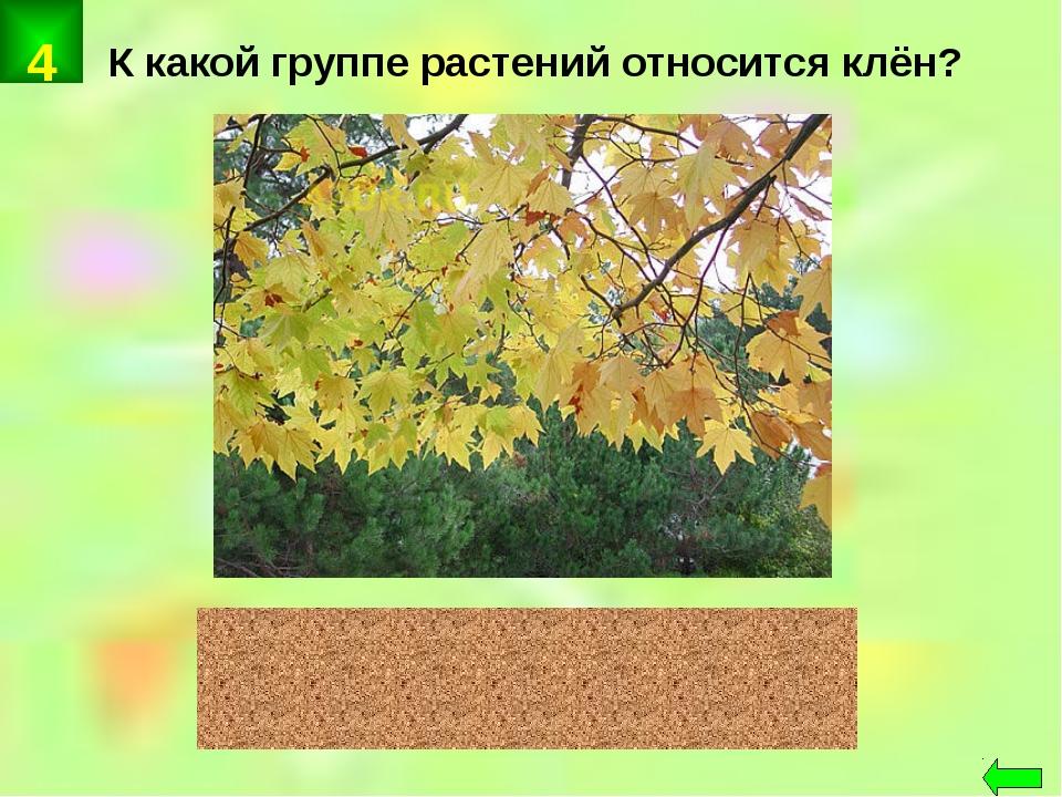 К какой группе растений относится клён? цветковые 4