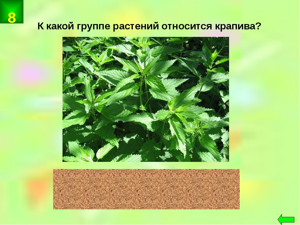 К какой группе растений относится крапива? цветковые 8