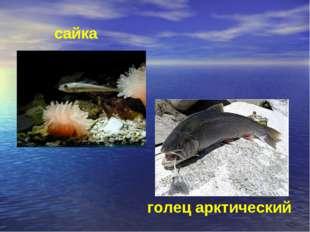 голец арктический сайка