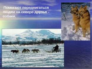 Помогают передвигаться людям на севере друзья - собаки.
