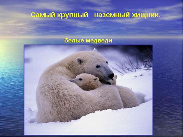 Самый крупный наземный хищник. белые медведи