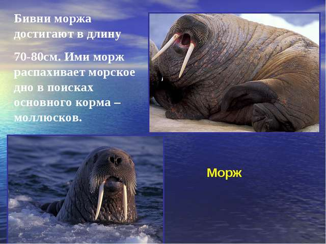 Морж Бивни моржа достигают в длину 70-80см. Ими морж распахивает морское дно...