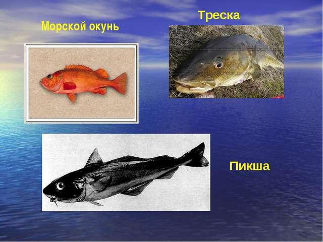 Пикша Треска Морской окунь