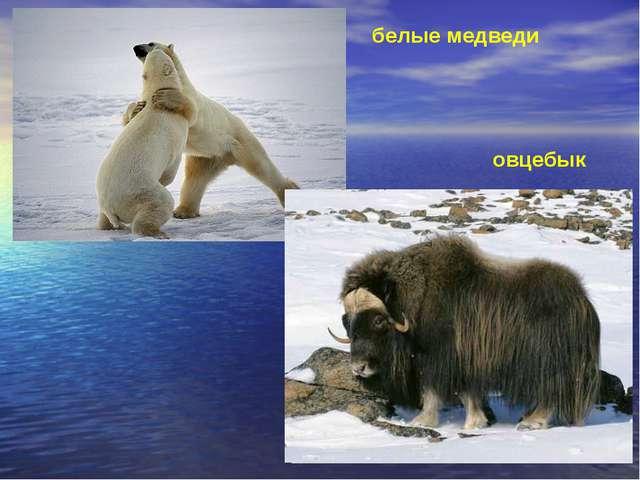 овцебык белые медведи