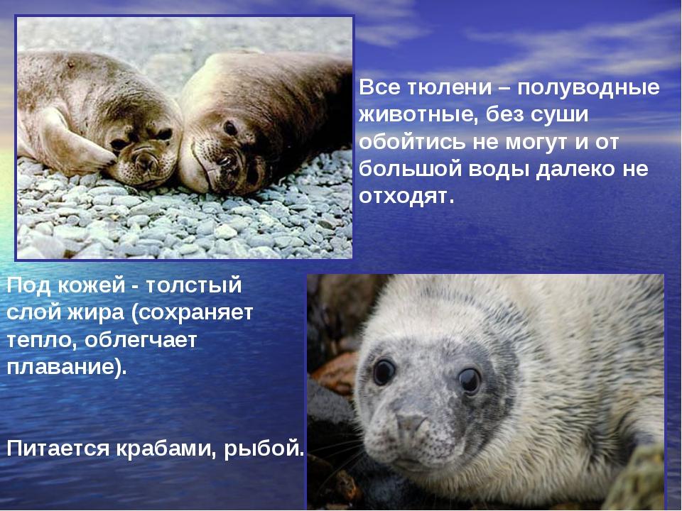 Все тюлени – полуводные животные, без суши обойтись не могут и от большой вод...