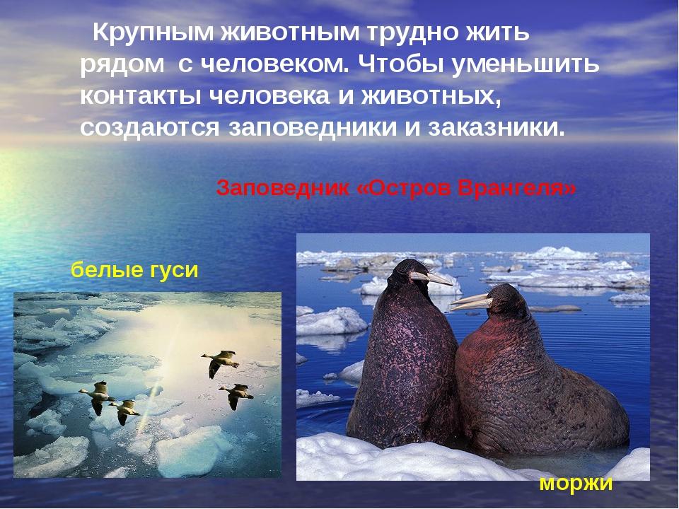 Крупным животным трудно жить рядом с человеком. Чтобы уменьшить контакты чел...