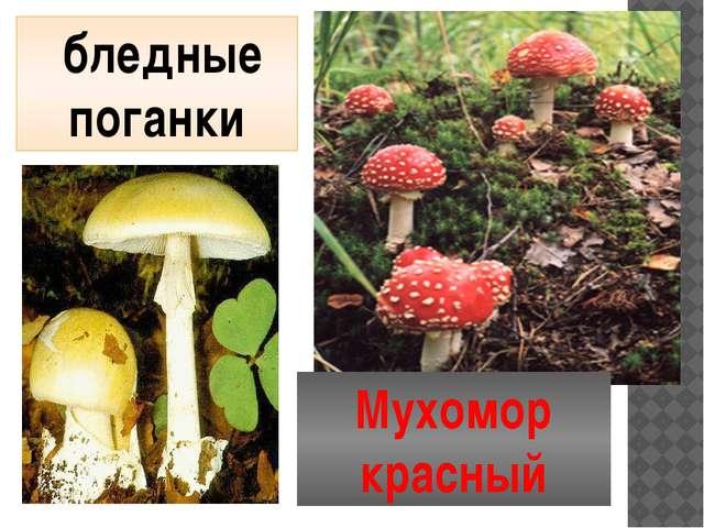 бледные поганки Мухомор красный