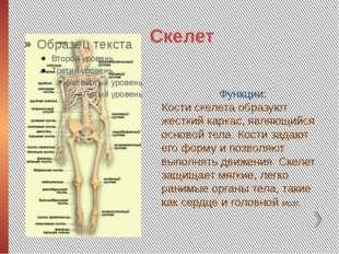 Скелет Функции: Кости скелета образуют жесткий каркас, являющийся основой тел