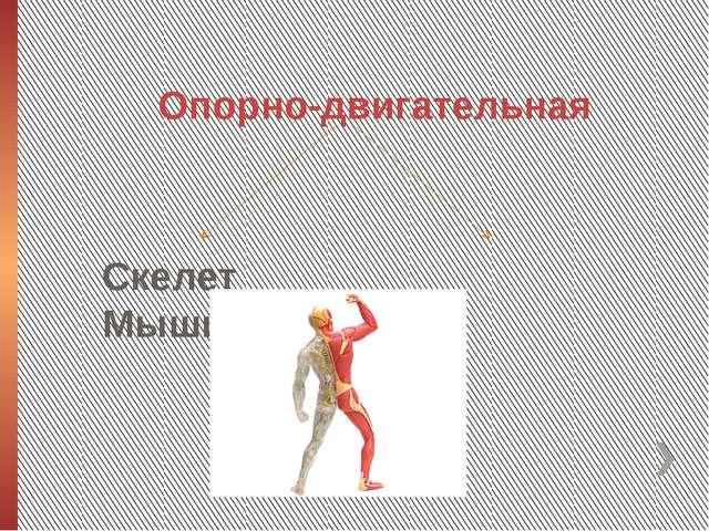 Опорно-двигательная Скелет Мышцы