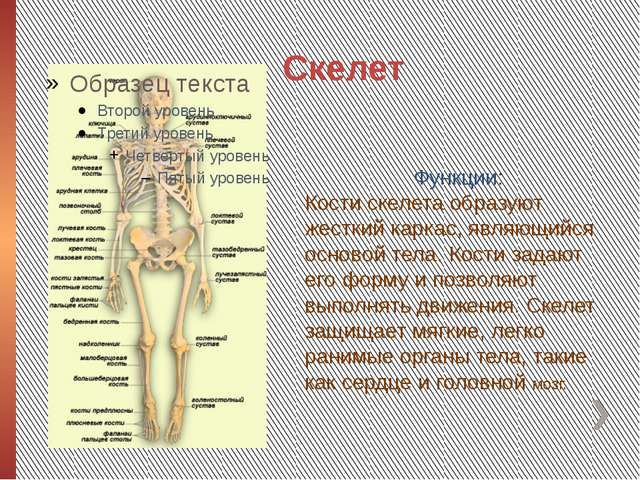 Скелет Функции: Кости скелета образуют жесткий каркас, являющийся основой тел...