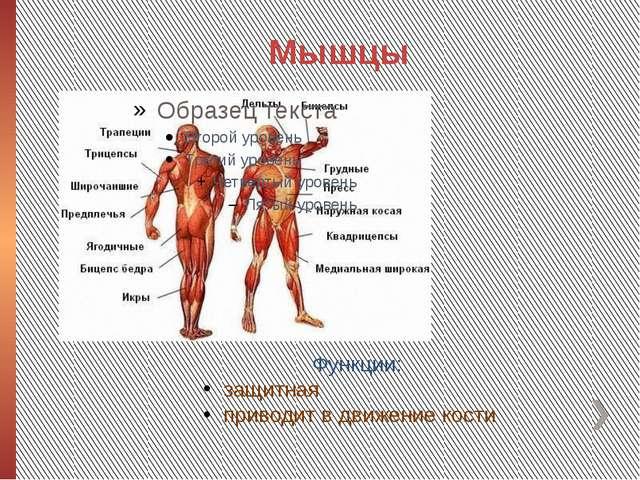 Мышцы Функции: защитная приводит в движение кости