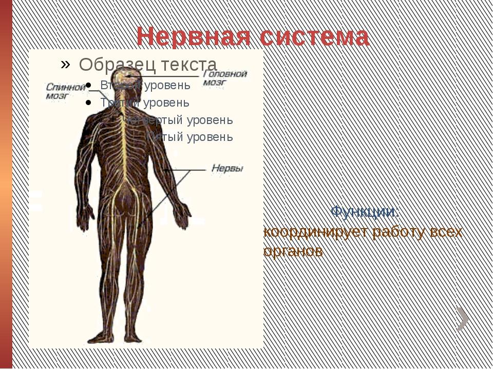 Нервная система Функции: координирует работу всех органов