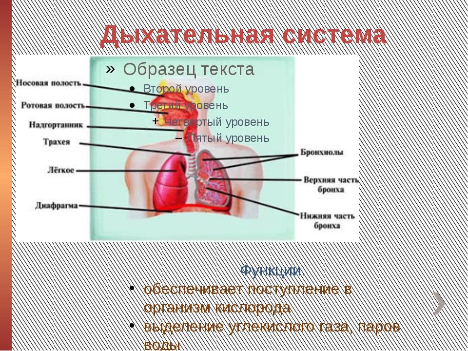 Дыхательная система Функции: обеспечивает поступление в организм кислорода вы...