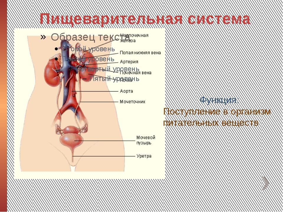 Пищеварительная система Функция: Поступление в организм питательных веществ