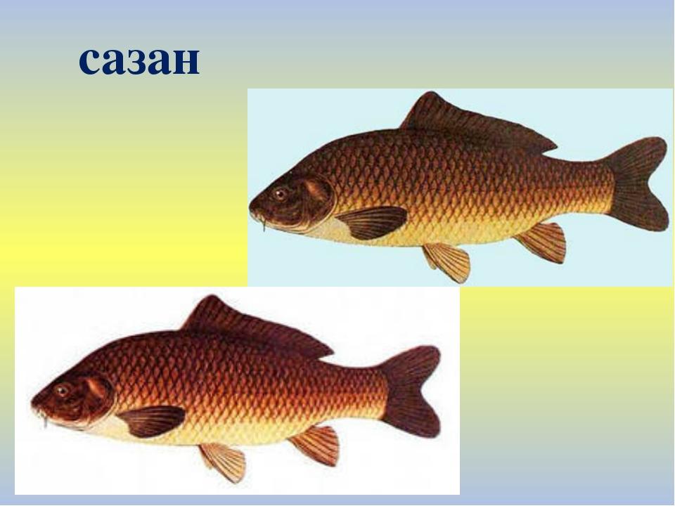 рыба сазан фото и описание знает, возможно, они