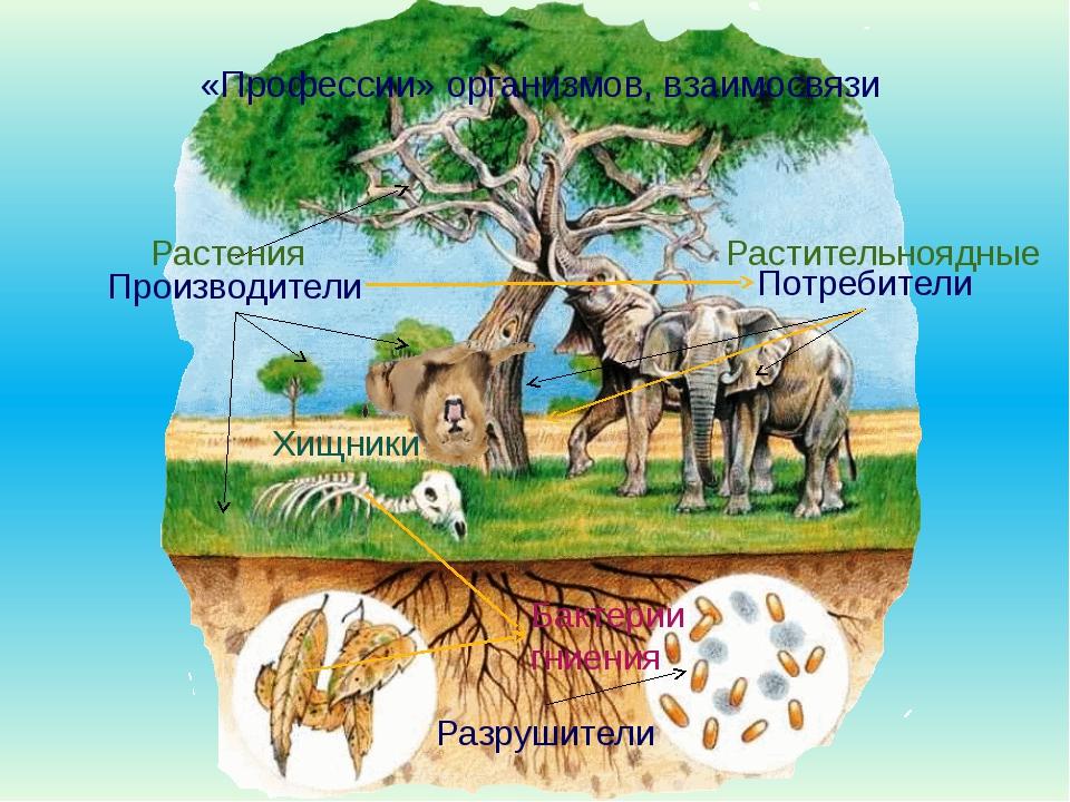 «Профессии» организмов, взаимосвязи Производители Потребители Разрушители Ра...