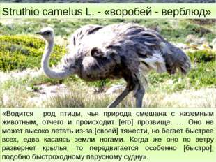 Struthio camelus L. - «воробей - верблюд» «Водится род птицы, чья природа см
