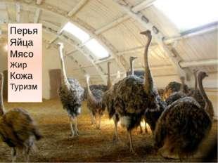 Перья Яйца Мясо Жир Кожа Туризм http://fermer.by/kfh/straus/straus3.jpg ферма