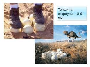 Толщина скорлупы – 3-6 мм http://byka.msk.ru/uploads/posts/2011-02/1298152396