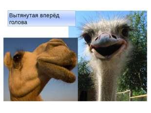 Вытянутая вперёд голова http://kaifolog.ru/uploads/posts/2012-11/thumbs/13528