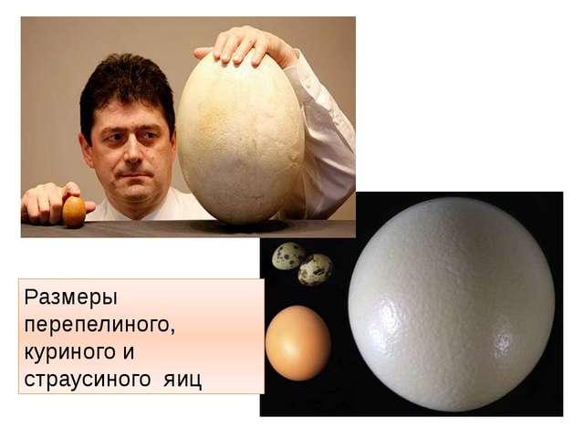 Размеры перепелиного, куриного и страусиного яиц http://t1.gstatic.com/images...