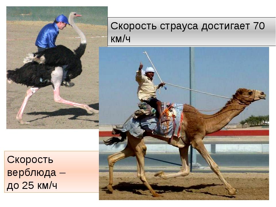 Скорость страуса достигает 70 км/ч Скорость верблюда – до 25 км/ч http://anim...