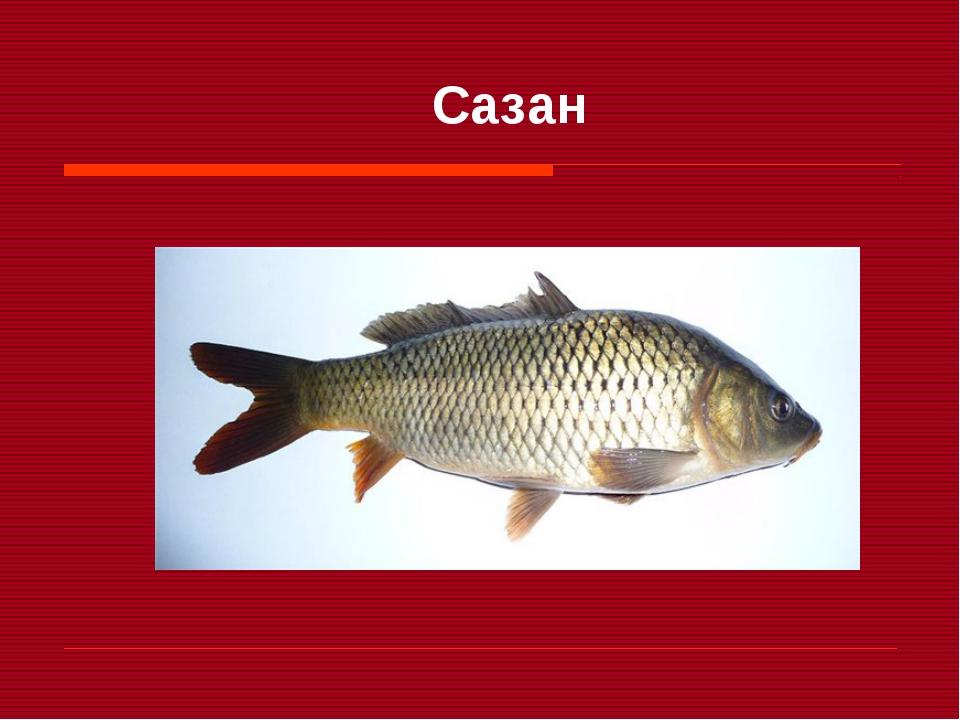 этой рыба сазан фото и описание очень