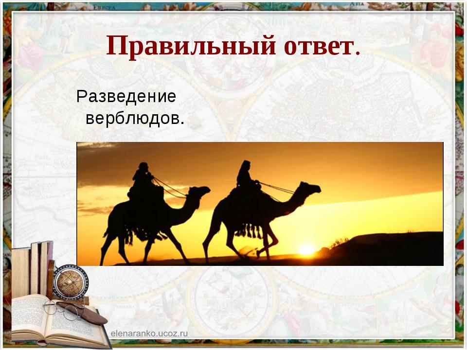 Правильный ответ. Разведение верблюдов.