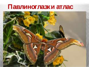 Павлиноглазки атлас