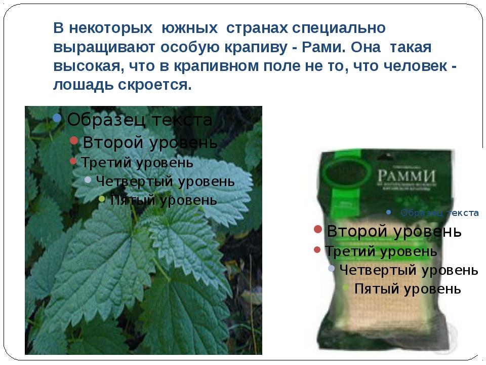 В некоторых южных странах специально выращивают особую крапиву - Рами. Она та...