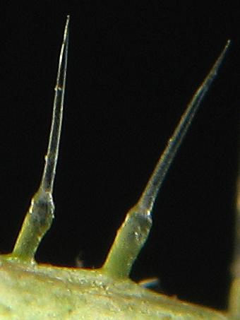 Файл:Urtica dioica stinging hair-2.jpg