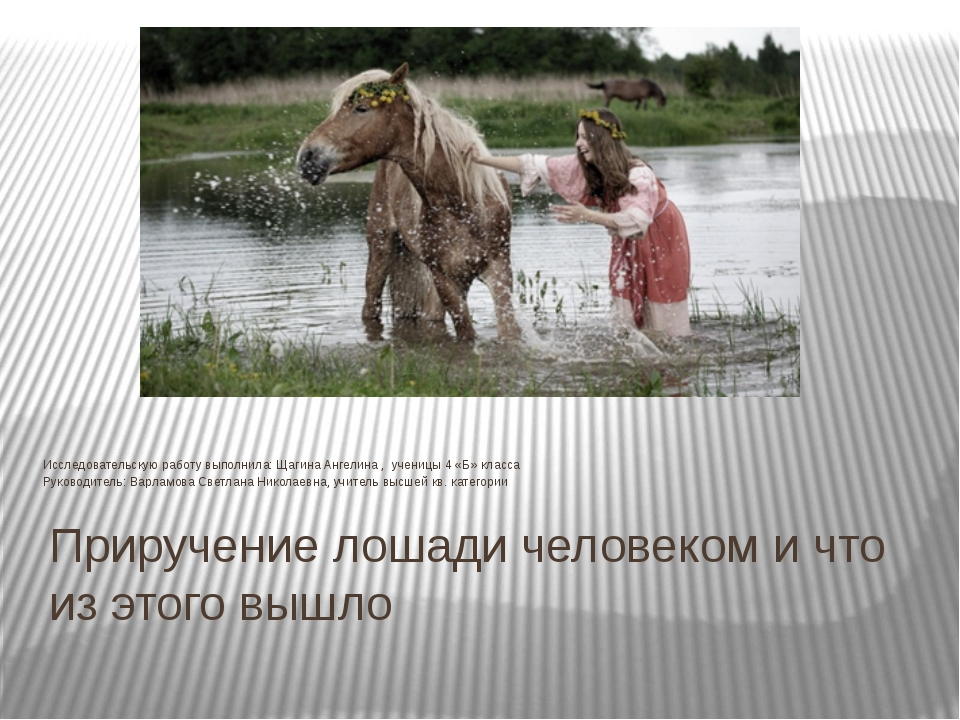 Приручение лошади человеком и что из этого вышло Исследовательскую работу вып...