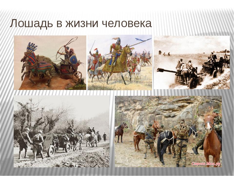 Лошадь в жизни человека Помощь лошади во время военных действий.