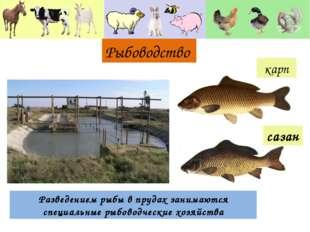 Рыбоводство Разведением рыбы в прудах занимаются специальные рыбоводческие хо