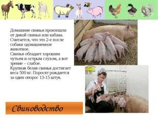 Свиноводство Домашние свиньи произошли от дикой свиньи или кабана. Считается
