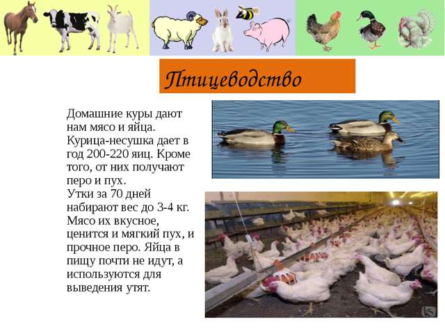 Птицеводство Домашние куры дают нам мясо и яйца. Курица-несушка дает в год 2...